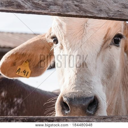 White Cow Looking Through The Fence With A Id Earring
