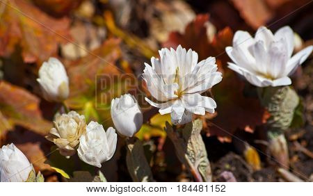several plants, two open and three buds, white, unusual, beautiful flowers, fluff in a botanical garden, sanguinaria canadensis,