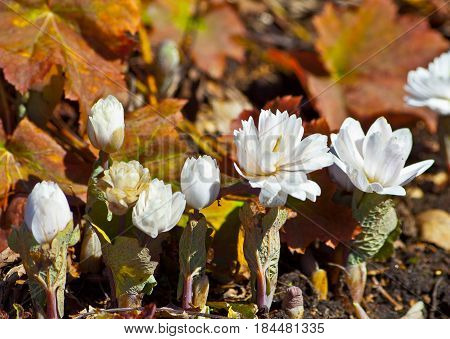 several plants, two open and three buds, white, unusual, beautiful flowers, fluffy, in a botanical garden, sanguinaria canadensis