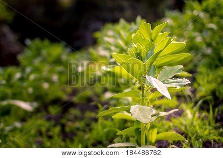 Plantas de haba en proceso de crecimiento