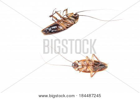 Collection of Cockroach isolated in white background. Cockroach die isolated.