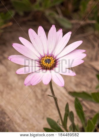Beautiful Big Flower With Pink And White Petals
