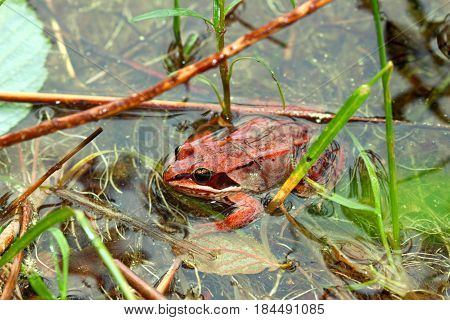 Wood Frogs (Rana sylvatica) are adapted to handle cold temperatures and occur throughout northern North America poster