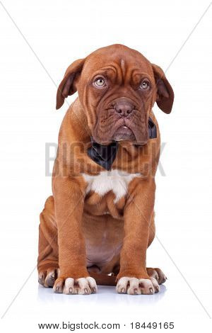 Cute French Mastiff Sitting