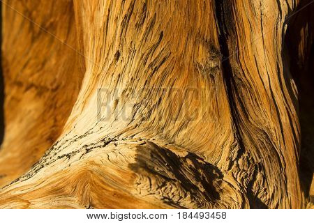 A close-up view of the bark of a bristlecone pine
