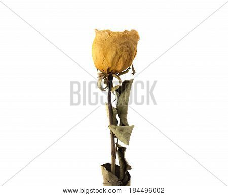 Dried White Rose Isolated On White Background