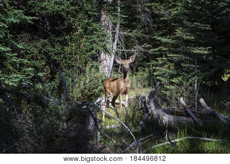 Mule Deer in a thick pine forest photographed in Utah USA