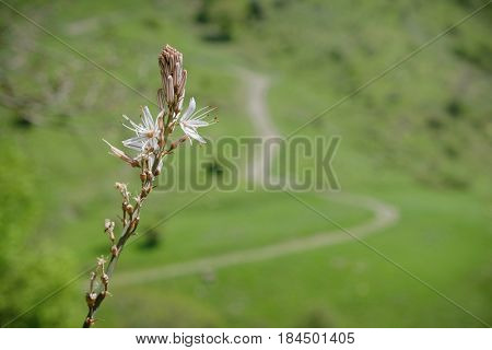 closeup spike of wild flowers, on background blurred winding dirt road on green meadow of Nebrodi Park, Sicily