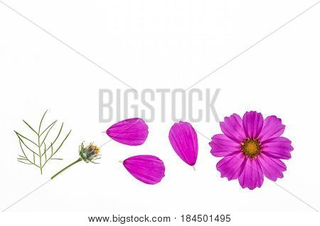 pink cosmos flowerhead with petals isolated on white background