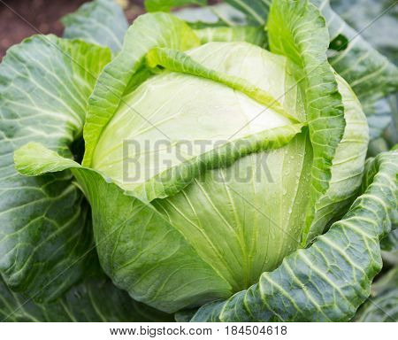 Cabbage . Fresh green big cabbage organic vegetables in the garden. White cabbage. Cabbage close-up. Cabbage growing
