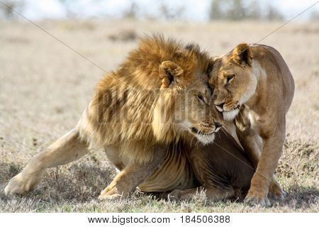 Two consorting lions (Panthera leo) nuzzle in the shade.
