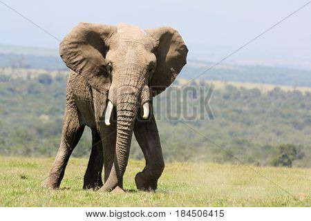 A male elephant (Loxodonta africana) scuffs the ground to loosen grass.