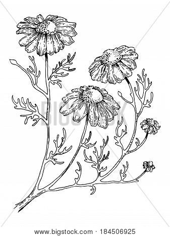 Officinalis medical plant engraving vector illustration. Scratch board style imitation. Hand drawn image.