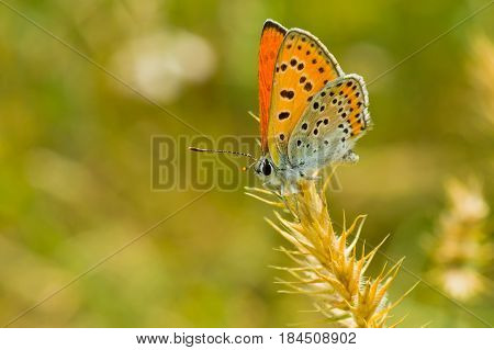 Orange butterfly with spotted wings having a short stop on a spikelet.