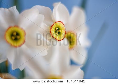 Abstract close up shot of Beautiful White Narcissus pistil and stamen with blue background with selective focus