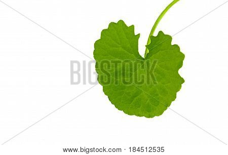 Asiatic Pennywort (Centella asiatica ) on white backgroung.