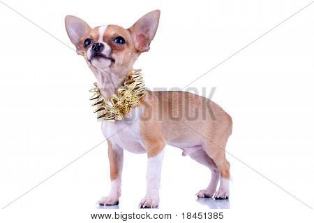 Chihuahua Puppy With Golden Studded Collar