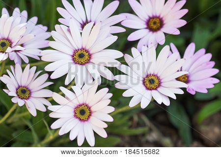 White osteospermums with lilac and yellow in the middle in the garden selective focus