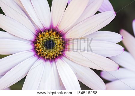 Macro photo of white osteospermum with lilac and yellow in the middle in the garden selective focus