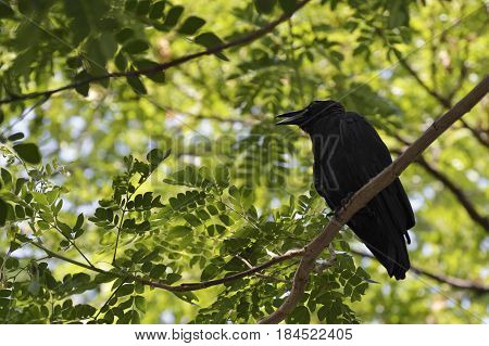 Black crow sitting on the branch of tree