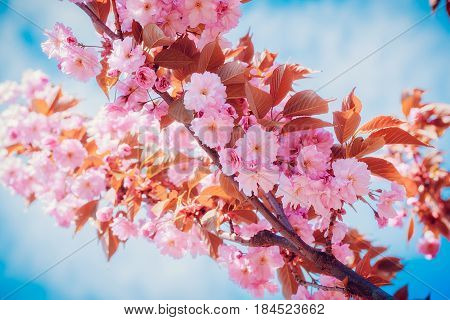 Sakura flowers blooming. Beautiful pink cherry blossom. Branch against the blue sky
