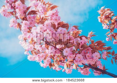 Sakura flowers blooming. Beautiful pink cherry blossom. Against the blue sky