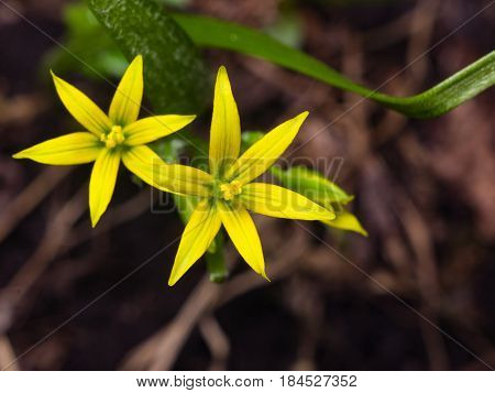Blooming Yellow Star-of-Bethlehem Gagea lutea closeup selective focus shallow DOF.