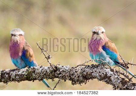 A pair of lilac-breasted rollers (Coracias caudata) perched on a thorny acacia branch. Ol Pejeta Conservancy Kenya