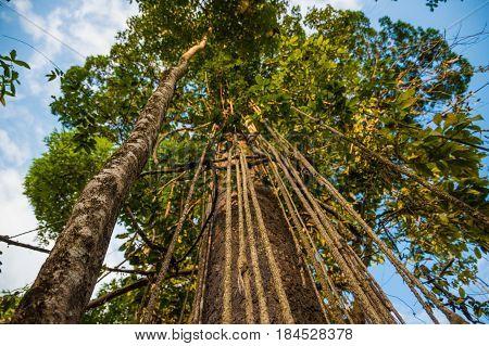 Massive tropical lianas hanging of giant tree jungle