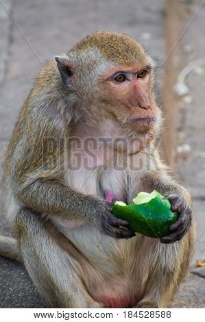 Macaque monkey ape eating green cucumber on street