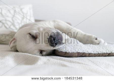 young cute sleeping labrador retriever puppy wakes up
