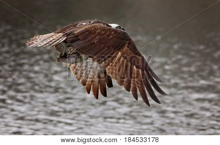 an osprey flying off with a fish