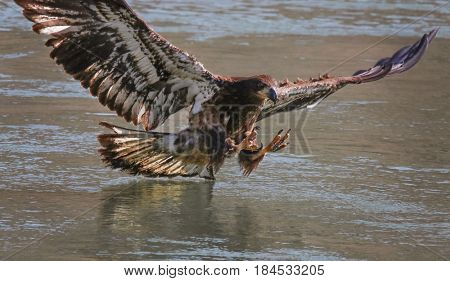 an eagle diving for a fish