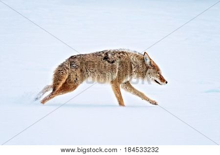 a coyote running across a snow covered pond in the middle of winter