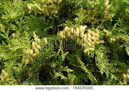 Thuja (arborvitae). Natural green background.