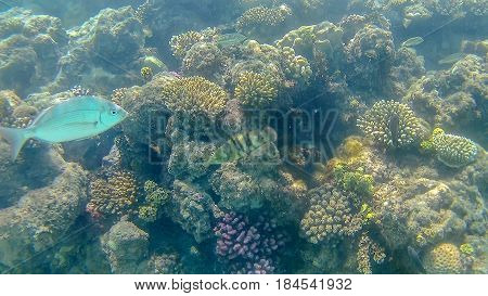 Lethrinidae And Sparidae Fish Swim Around A Bright Colored Coral