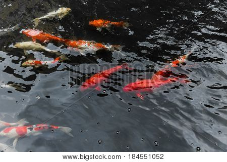 big fish in the water pond. Japan Colorful Orange Fish Koi or Nishikigoi Fish or Brocaded Carp in pond.