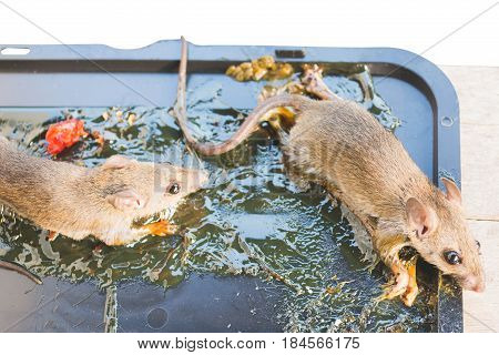 dying rats stick on glue trap isolated on white