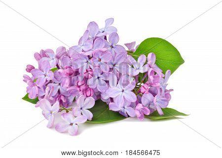 Lilac flowers macro (Syringa vulgaris) isolated on white background.
