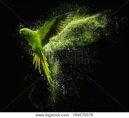 Flying green parrot Alexandrine parakeet with colored powder clouds. Isolated on black background
