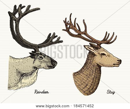reindeer and stag deer vector hand drawn illustration, engraved wild animals with antlers or horns vintage looking heads side view.