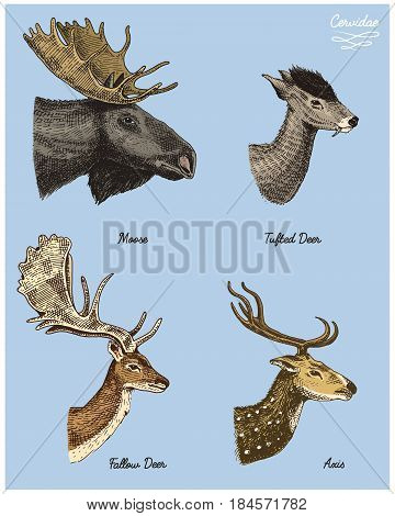 moose or eurasian elk, tuffed deer, roe or doe, axis vector hand drawn illustration, engraved wild animals with antlers or horns vintage looking heads side view.