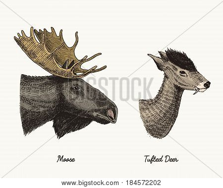 moose or eurasian elk, tuffed deer vector hand drawn illustration, engraved wild animals with antlers or horns vintage looking heads side view.