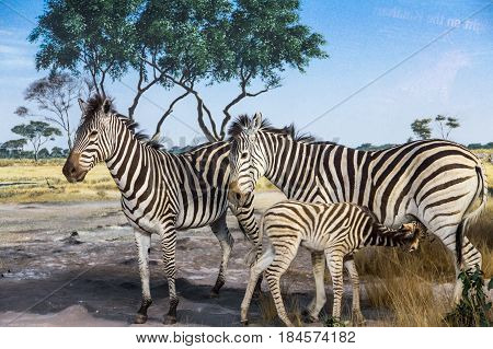 Zebras with a Fawn on Grass Plain