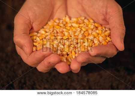 Handful of harvested corn seed caucasian male farmer holding pile of maize grains over soil background