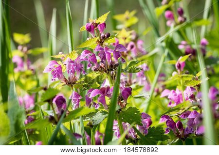 Detail From Spring Meadow With Flowering Lamium Maculatum