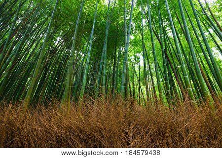 Bamboo grove nature pathway bamboo forest at Arashiyama Kyoto Japan