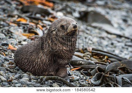 Antarctic Fur Seal On Shingle And Seaweed