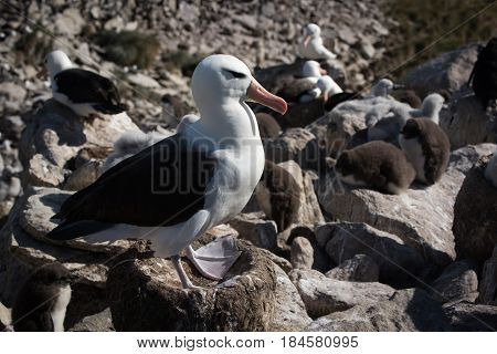 Black-browed Albatross Standing On Nest In Colony