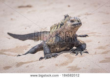 Marine Iguana Sunbathing On White Sand Beach
